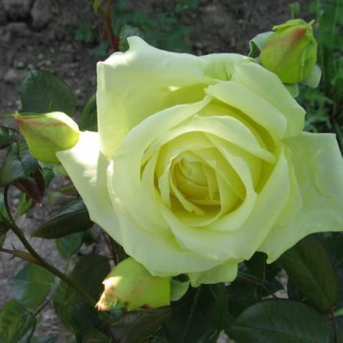 Róża rabatowa zielona