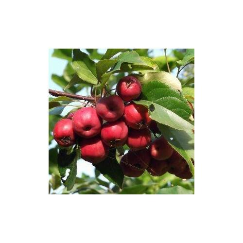 Jabłoń Rajska Ozdobna OLA