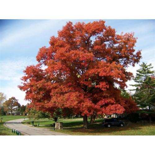 Dąb CZerwony Quercus rubra Dekoracyjny  40 - 50 cm