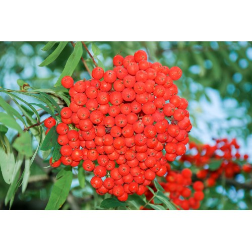 Jarzębina czerwona Jarząb pospolity Duża sadzonka K. 160-220cm