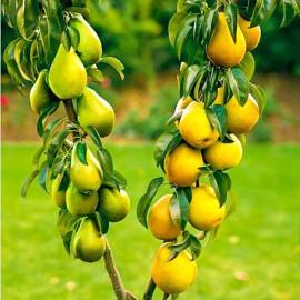 Drzewka owocowe DUO - NOWOŚĆ!